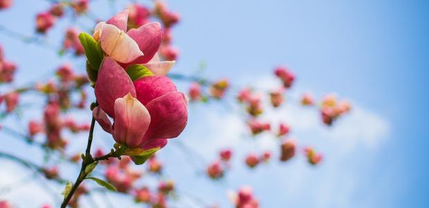 magnolia-grand-format